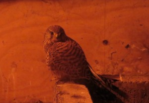 Kestrel in the loft