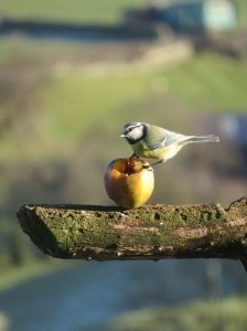 Blue tit with an apple
