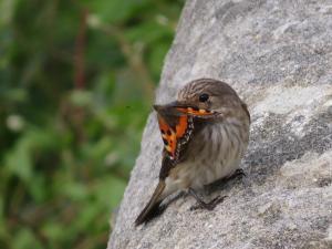 flycatcher, tortoiseshell
