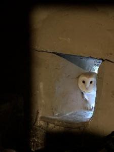 owlet, evening 23 june