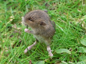 Chewing vole